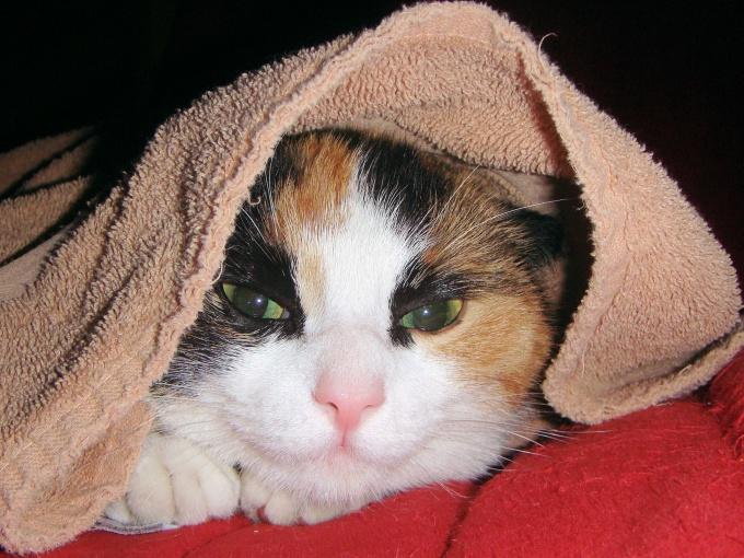 как лечить глоумонефрит у кошки