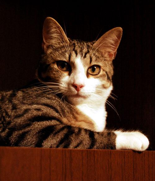 коты британцы кастрация