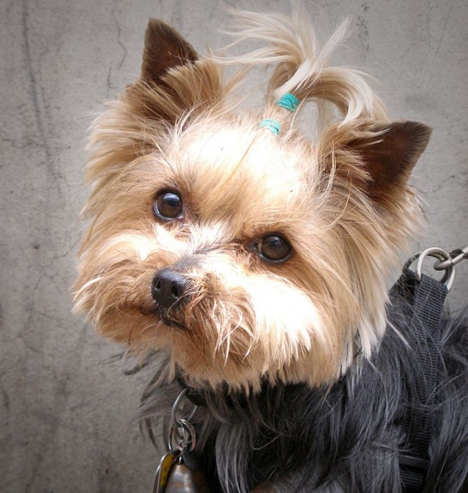 How to cut Yorkie ears