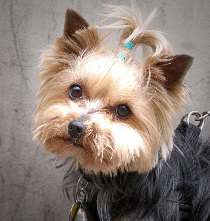 можно ли стричь волосы щенкам на ушах
