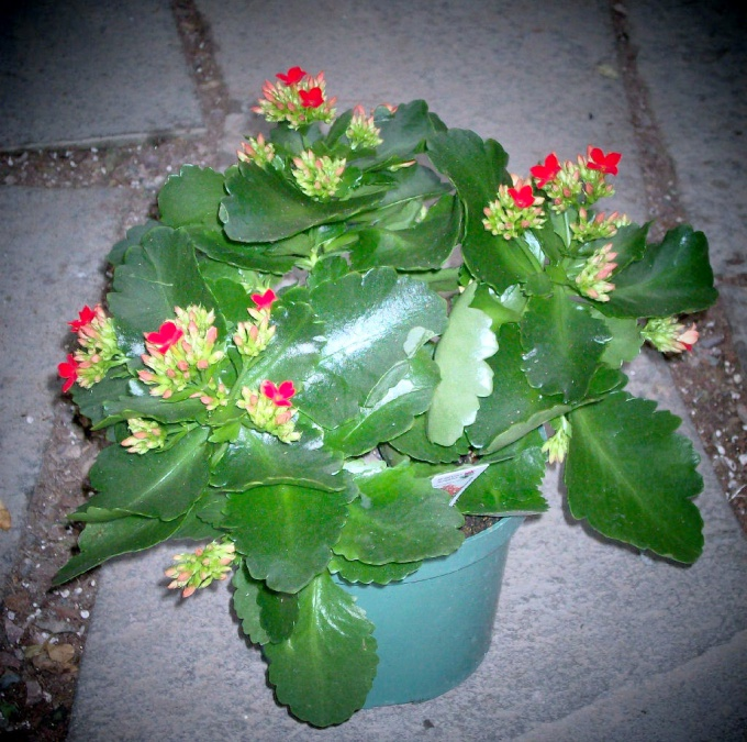 How to pinch back Kalanchoe