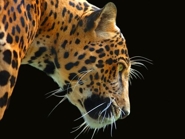 Как нарисовать ягуара