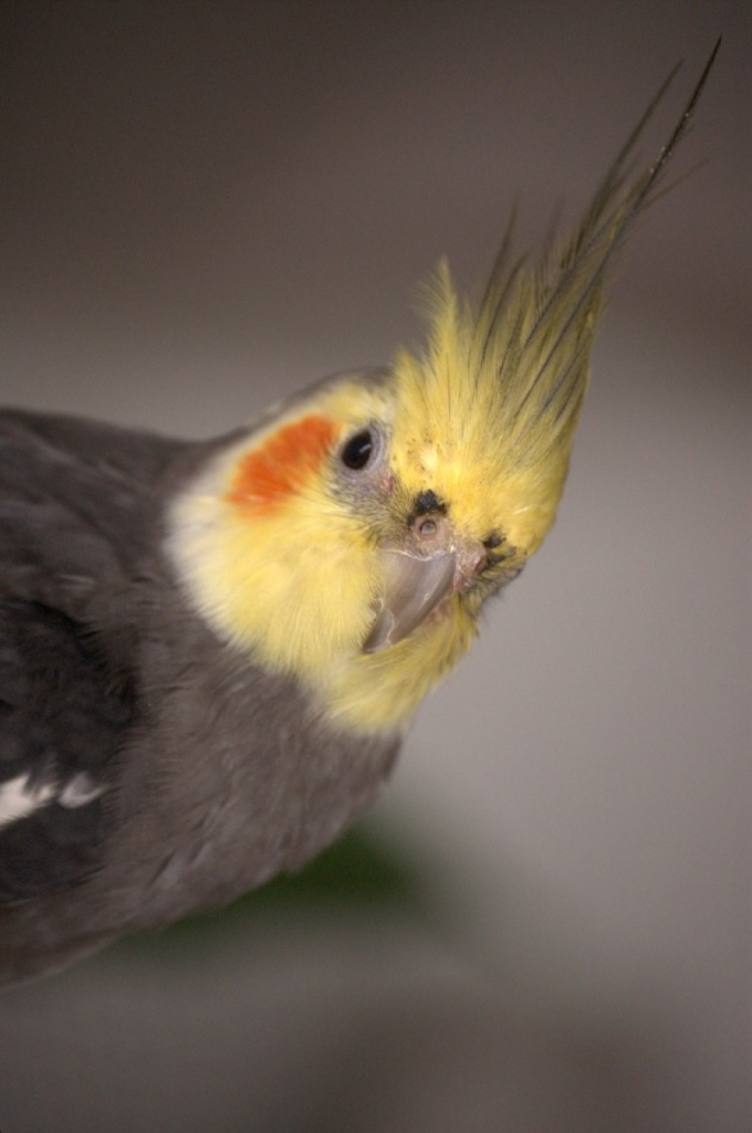 почему попугай моргает глазами когда с ним разговариваешь