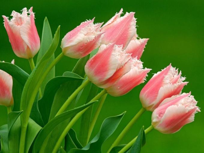 Как сохранить тюльпаны до весны