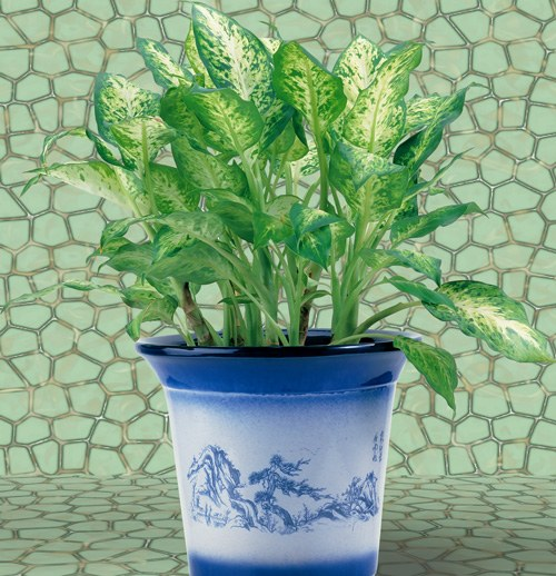 How to plant dieffenbachia
