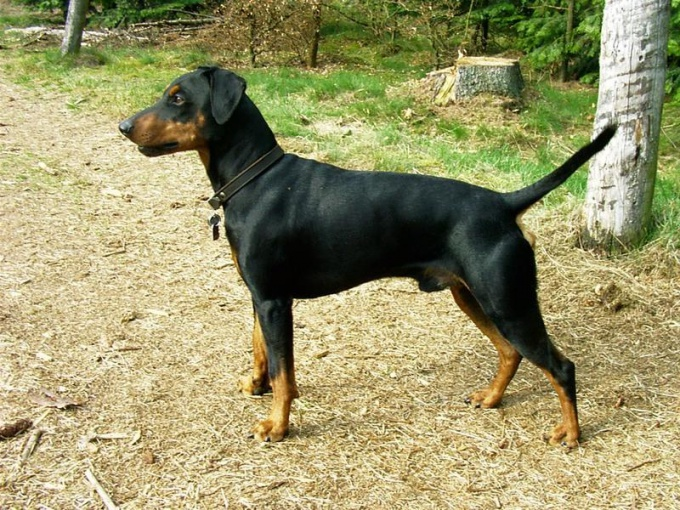 How to feed puppies Pinscher