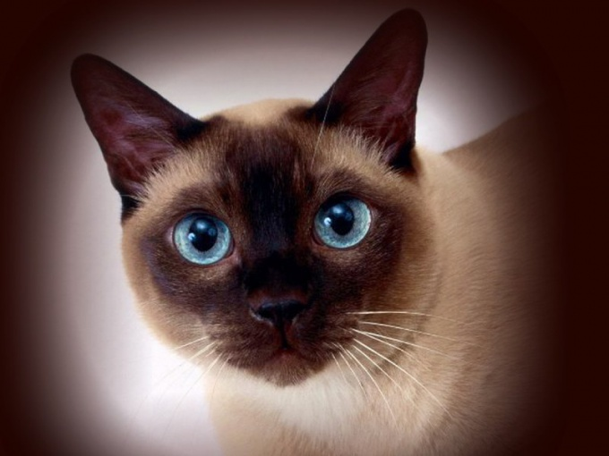 имена сиамских котят девочек