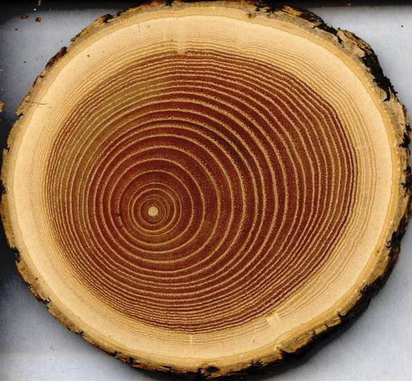 Как определить породу дерева