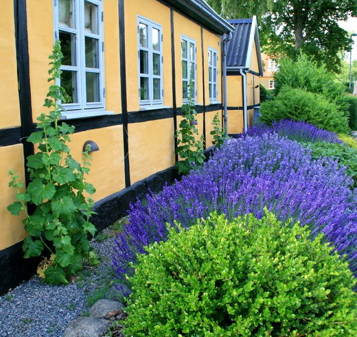 How to sow lavender