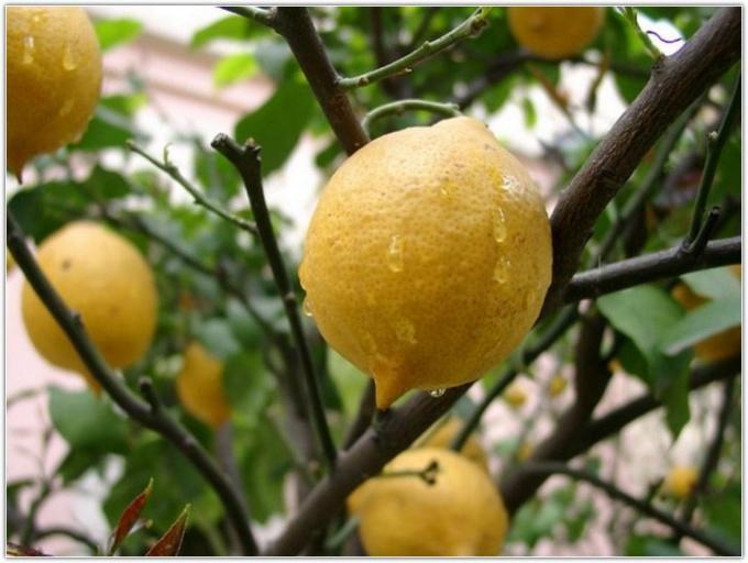 Как вырастить плодоносящий лимон