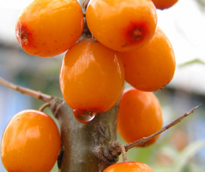 How to drink sea buckthorn oil