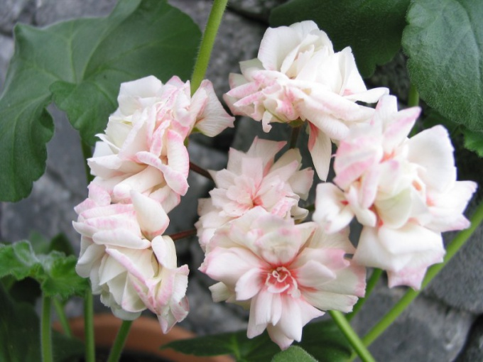 How to water the geraniums