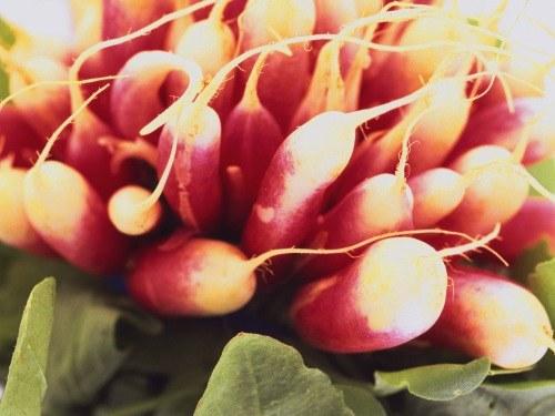 Как выращивать редиску в теплице