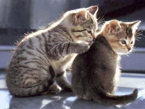 как помирить кота и котенка