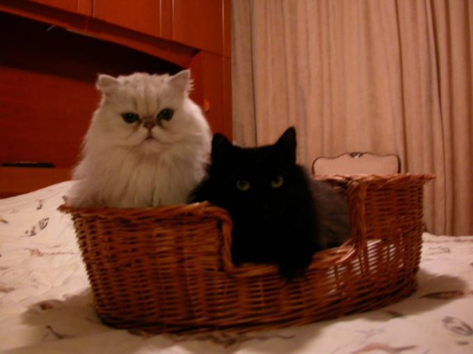 кошки неладят между собой
