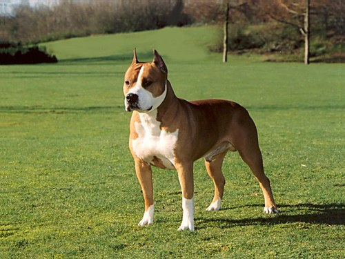 How to raise a Staffordshire bull Terrier