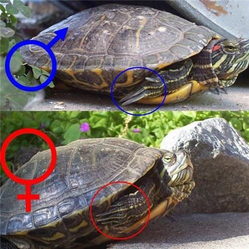 Как различить пол красноухих черепах