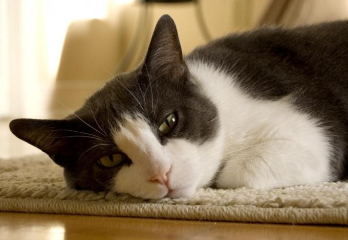 блохи живут в густом подшёрстке котов