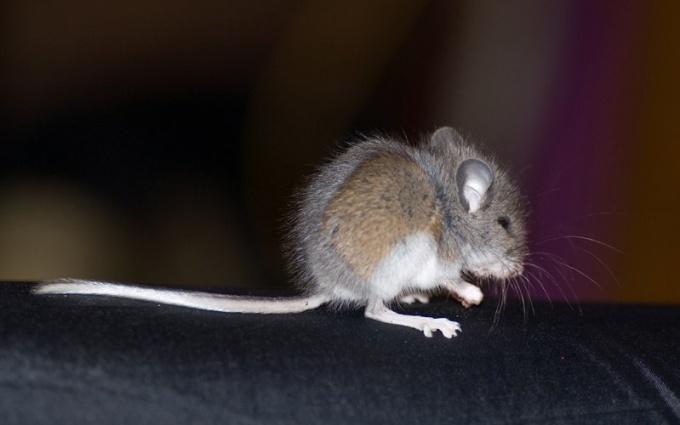 Как прогнать мышей