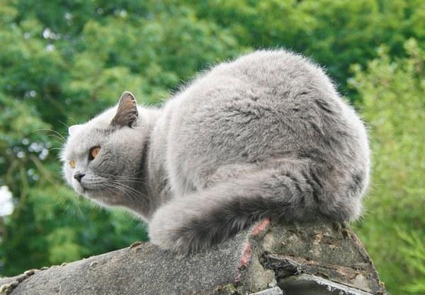 как распознать британскую породу кошек