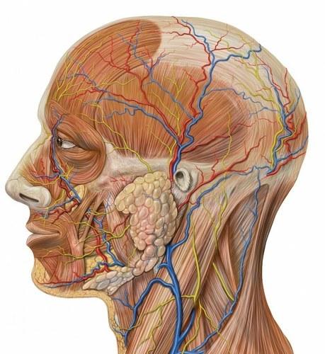 Как выучить анатомию быстро