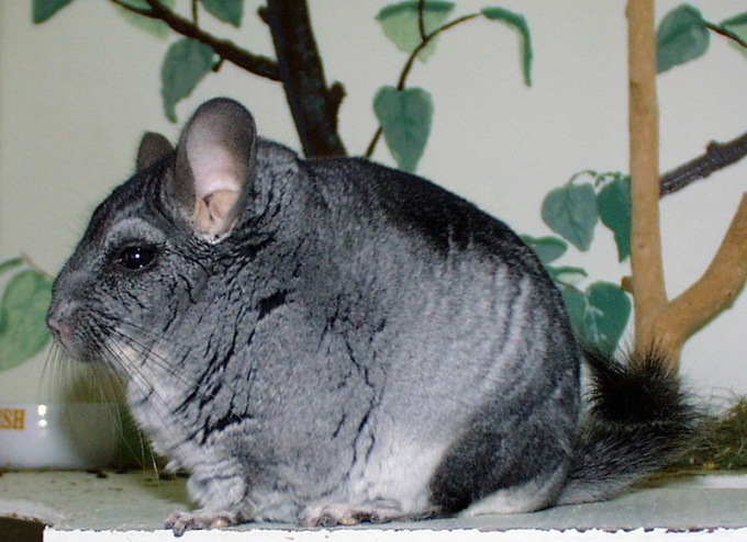 How to determine the age of a chinchilla