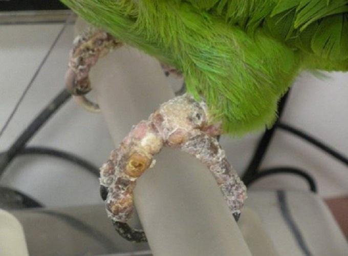 как вылечить попугая от клеща