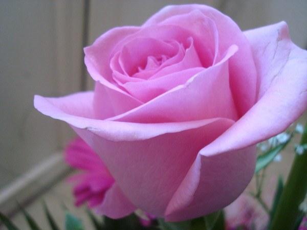 Как вырастить голландские розы