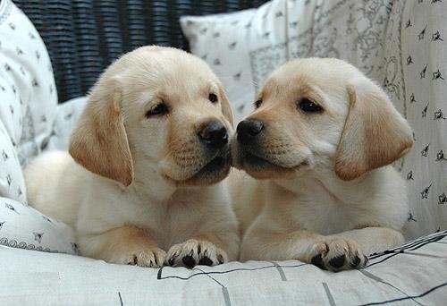 как выбрать щенка золотистого ретривера