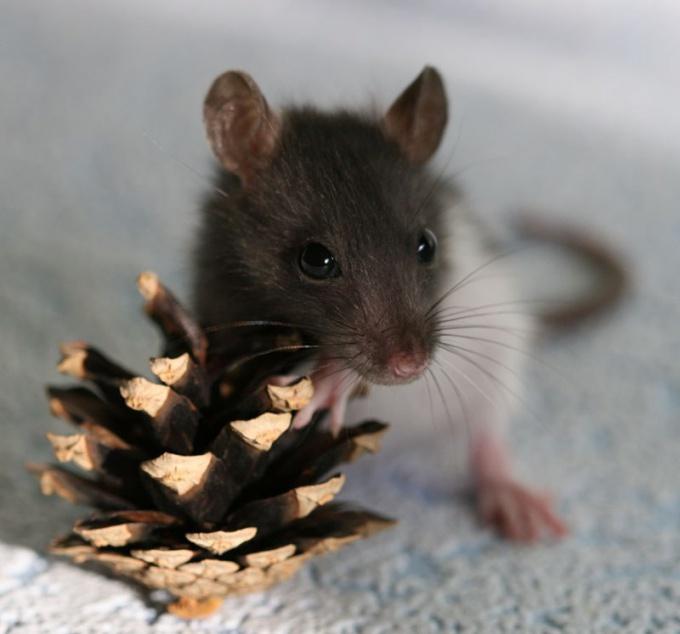 как назвать крысу мальчика