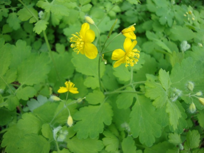 How to take tincture of celandine