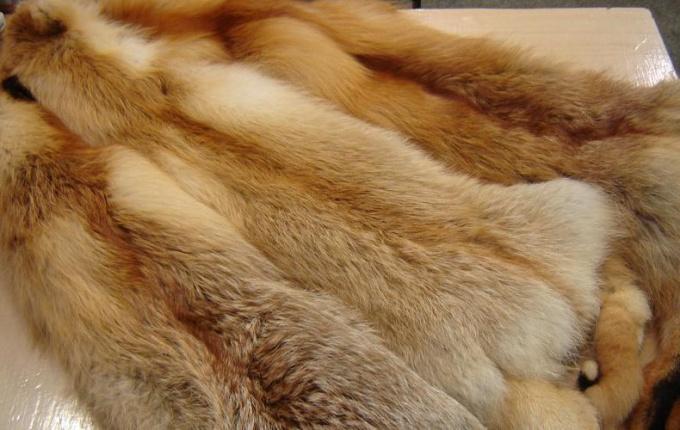 Как выделать шкурку лисы