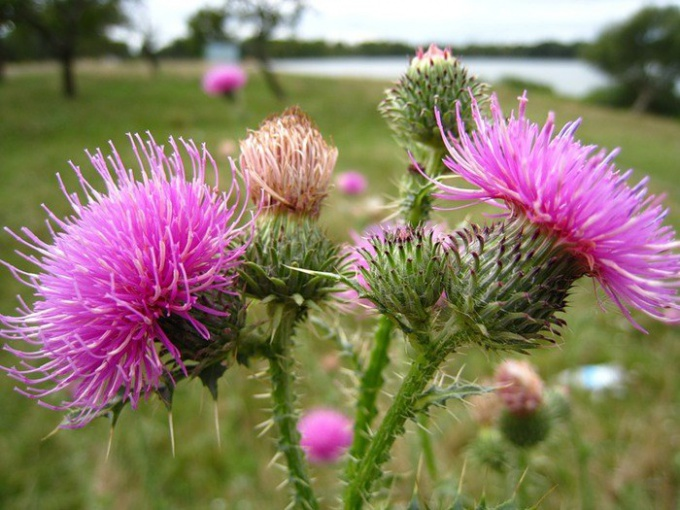 How to take milk Thistle