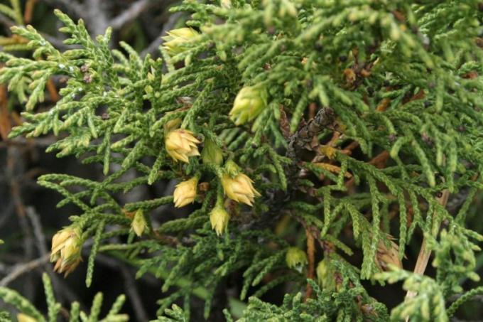 Как вырастить можжевельник из семян