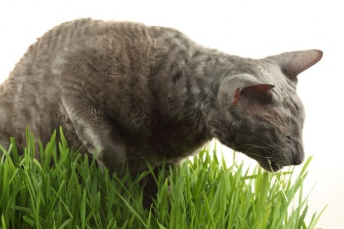 удаление шерсти из желудка кошки видео