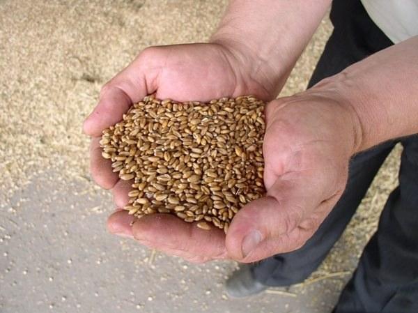 Как хранить пшеницу