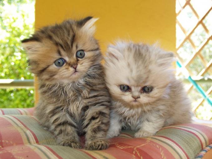 Как кормить персидского котёнка
