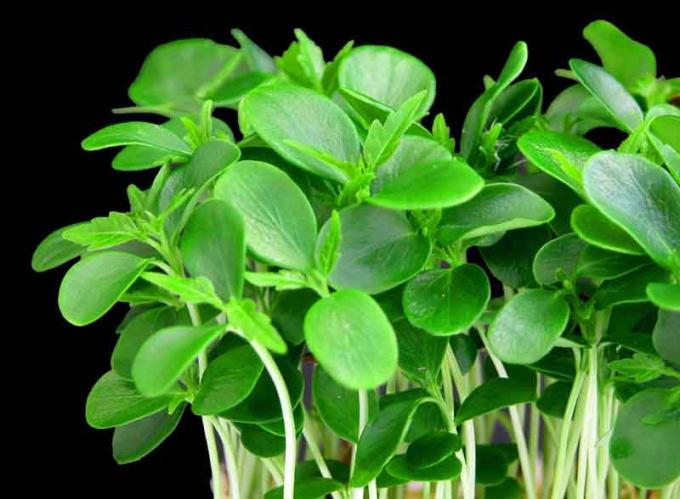 Как вырастить кресс салат