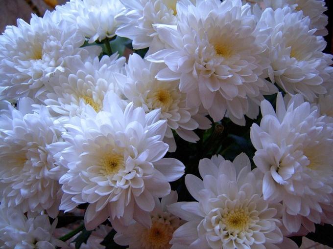 Как сохранить срезанные хризантемы