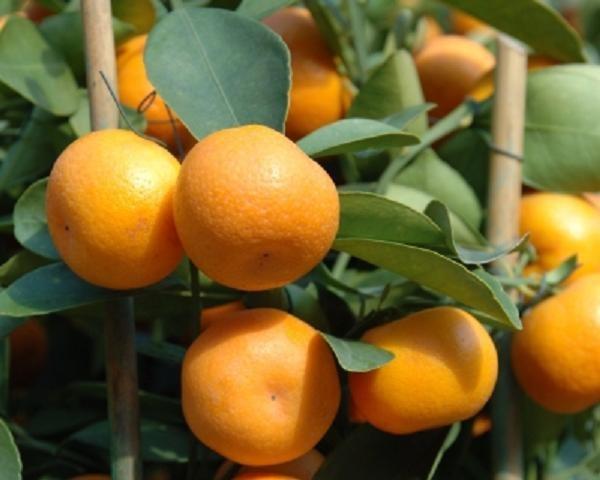 Как прорастить косточку мандарина