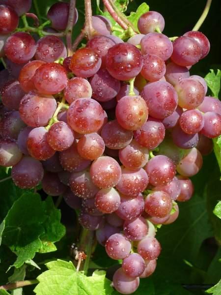Как укрыть виноград в зиму