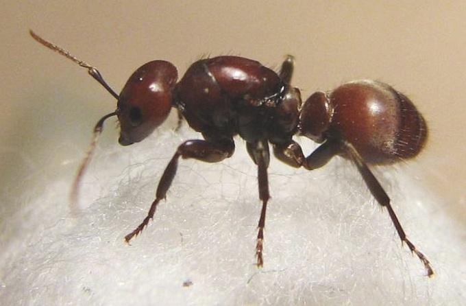 Как вывести рыжих домашних муравьев