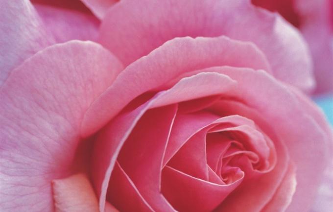 Как вырастить розы в теплице