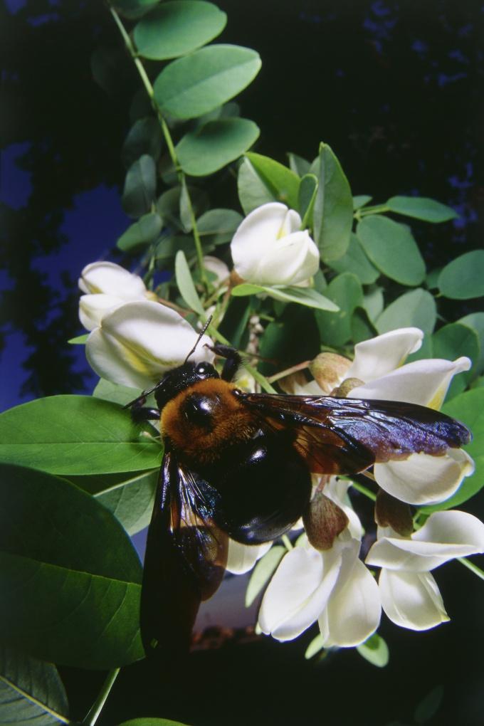 Как собирать пчелиный яд