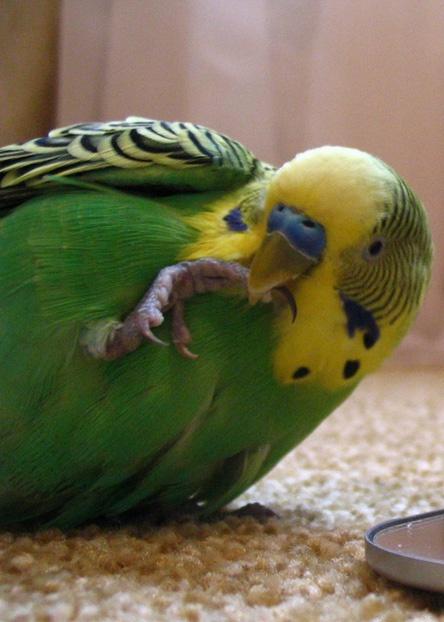 как научить разговаривать пару волнистых попугаев