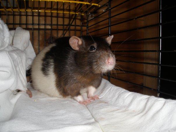 как понять что крыса беременная