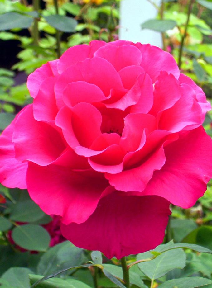 Как растить розы