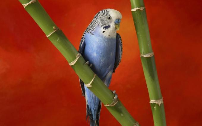как защитить попугая от кошки