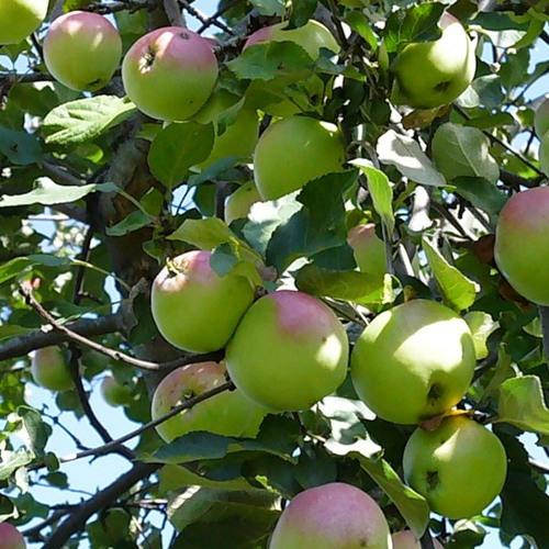 Как производить обрезку яблонь
