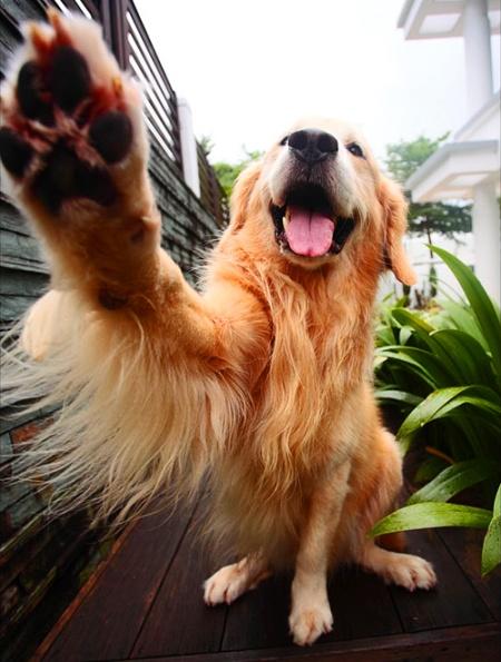 Как обучить щенка давать лапу